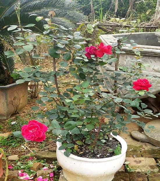 Kỹ thuật trồng và chăm sóc cây Hoa Hồng
