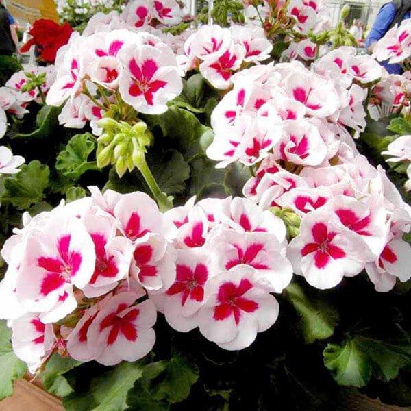 Hoa phong lữ